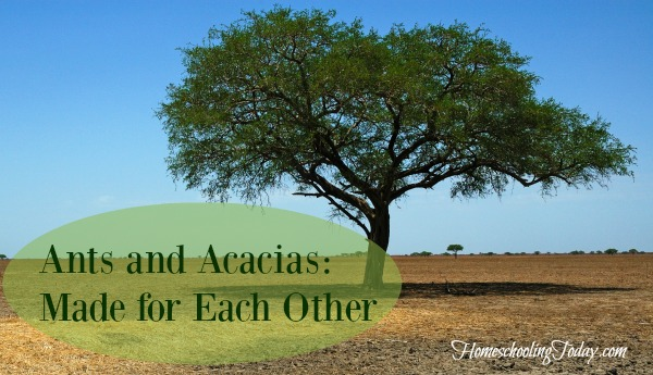 Ants and Acacias: Made for each other - Homeschooling Today